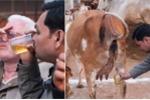 Xem người Ấn Độ uống nước tiểu bò để giải khát, chữa ung thư