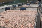 Hơn 50 tấn cá chết sau một đêm ở Quảng Nam