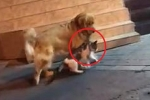 Clip: Thấy mèo chuẩn bị đi đánh nhau, chó phản ứng cực hài hước