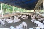 Phó chủ tịch TP.HCM: Địa phương nào xuất hiện ổ dịch tả lợn châu Phi, người đứng đầu phải chịu trách nhiệm