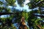 Ảnh: Hóa ra kho báu cây thủy tùng đắt nhất thế giới ngay tại Việt Nam ít người biết