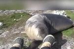 Phì cười phản ứng 'bá đạo' của hải cẩu sau khi ngửi chân người