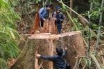 Truy nã 2 kẻ chủ mưu thảm sát rừng lim cổ thụ ở Quảng Nam