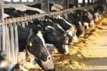 Hiếm có ở Việt Nam: Thị trấn 600 tỷ phú, lái ôtô dạo thăm bò