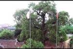 Cây dã hương nghìn năm độc nhất vô nhị ở Bắc Giang