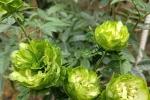 Hồng màu xanh lá hiếm có, đắt giá lần đầu xuất hiện trong lễ hội hoa hồng Bulgaria