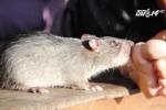 Hà Nội: Mắc bệnh lạ sudoku vì bị chuột cắn