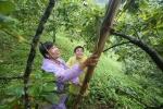 Video: Xem người Lạng Sơn chế thang tre cao 6 m thu hái hồng vành khuyên