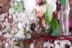 Video: Mưa đá ở Mộc Châu, nhiều vườn mận của nông dân bị phá hủy