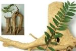 Loài cây chỉ có ở Bái Tử Long và rừng Tây Nguyên giúp tăng ham muốn cho quý ông