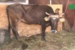 Vượt biên trái phép, bò cái mang thai bị tuyên án tử hình