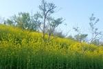 Thiếu nữ e ấp bên hoa cải trong ngày nắng Fansipan Sa Pa