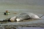 Liên hệ bí ẩn giữa bão Mặt trời và cái chết của hàng chục cá voi khổng lồ