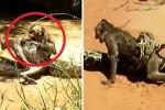Clip: Hai bé trai tay không giải cứu khỉ bị trăn quấn chặt