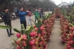 Cận cảnh thanh long bonsai chơi Tết hút khách ở Thủ đô