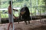 Con bò tót si tình và chuyện chưa từng có về đàn bò tót lai ở Ninh Thuận