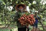 Video: Nông dân Bắc Giang đu cây thu hoạch vải chín sớm
