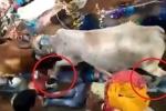 Clip: Đám đông nằm rạp xuống đất cho đàn bò nặng cả tấn giẫm đạp