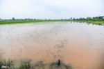 Mưa lớn kéo dài, 200 ha lúa ngập chìm trong nước