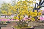 Hoa anh đào Nhật Bản, mai vàng Yên Tử khoe sắc rực rỡ ở Quảng Ninh