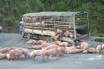 Clip: Nổ lốp xe tải, 400 con lợn thoát thân tràn ra đường cao tốc