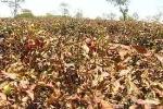 Người trồng chè 'méo mặt' vì nắng nóng khốc liệt