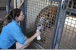 Kinh hoàng nhân viên sở thú bất ngờ bị hổ vồ chết