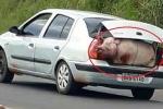 Clip: Lật xe tải chở 120 con lợn, dân Brazil mang cả ô tô đi 'hôi của'