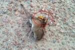 Clip: Ong chích độc liên hoàn, chuột giãy giụa rồi đau đớn hấp hối