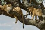 Đàn sư tử nằm vắt vẻo trên cây tránh nóng mùa hè