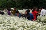Video: Giới trẻ thả ga 'sống ảo' trên cánh đồng hoa cúc họa mi đẹp nhất Hà Nội