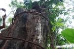 Ảnh: Cận cảnh cây sưa 100 tỷ đồng chuẩn bị được bán đấu giá ở Hà Nội