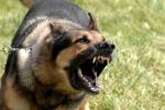 Thái Nguyên xuất hiện hàng loạt chó lạ, cắn chết người