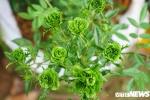 Hoa hồng xanh tại lễ hội hoa hồng Bulgaria có gì đặc biệt?