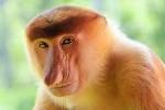 Loài khỉ mũi to nhất thế giới dùng mũi thu hút bạn tình