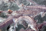 Trại cá tầm 'khổng lồ' nhiều con nặng gần 60 kg ở Sơn La
