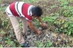 Truy tìm kẻ phun thuốc diệt cỏ làm chết 10 công ruộng khoai lang ở Vĩnh Long