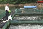 Video: Đàn cá điêu hồng nuôi bằng tỏi của lão nông Thái Nguyên cho 2 tỷ mỗi năm