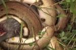Clip: Trăn khổng lồ rình rập, siết chết lợn rừng trong giây lát