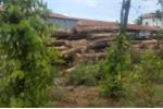 Hai xe gỗ lậu của Phượng 'râu' đi qua hàng loạt trạm kiểm soát thế nào?