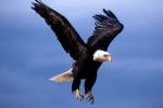 Clip: Đại bàng truy sát vịt trời ngoạn mục