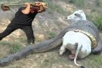 Clip: Nghẹt thở giải cứu bò mang thai khỏi trăn anaconda khổng lồ
