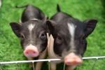 Video: Giới trẻ Hà Thành nuôi lợn mini giá tiền triệu làm thú cưng