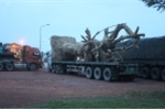 CGST Quảng Trị tạm giữ xe chở cây khủng mắc kẹt ở Huế