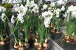 Cách trồng hoa thủy tiên bằng củ không cần đất nở đẹp đón Tết