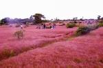 Không chỉ ở Đà Lạt, Gia Lai cũng có đồi cỏ hồng đẹp như tranh vẽ