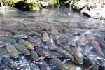 Giải mã chuyện chưa biết về loài cá khiến toàn dân miền tây Thanh Hóa coi trọng như thần