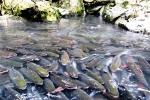 Chết bất đắc kỳ tử, nổi điên lập tức khi giết hại loài cá trú ngụ ở trong lòng núi