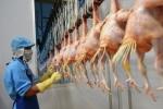Lô gà đầu tiên của Việt Nam sẽ xuất sang Nhật vào ngày 9/9
