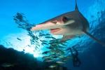 Phát hiện loài cá mập ăn thực vật đầu tiên trên thế giới